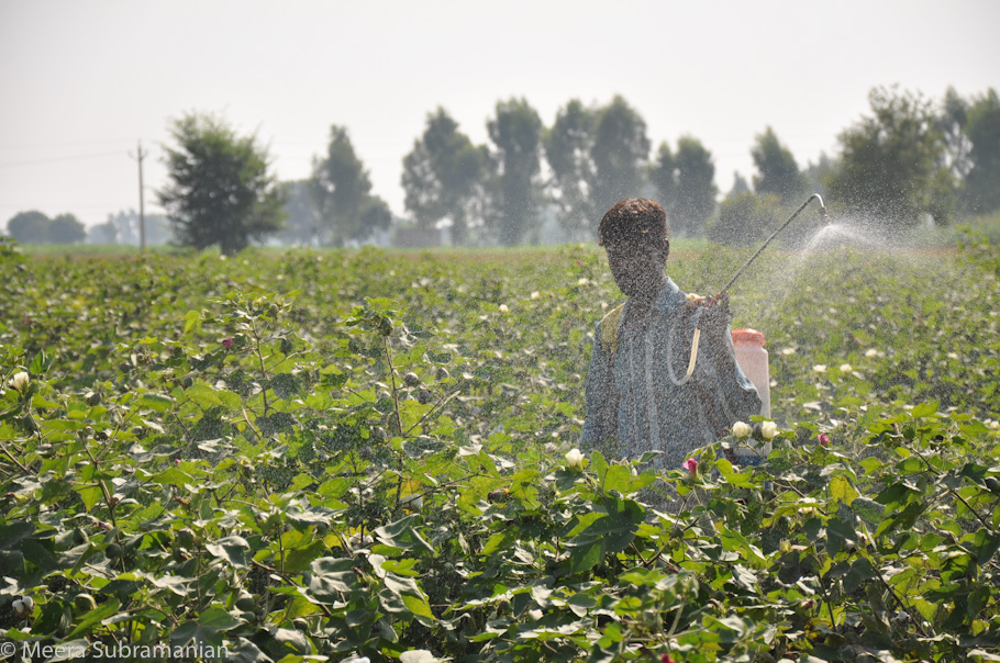 spraying pesticides on cotton